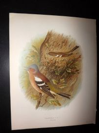 Butler, Frohawk & Gronvold 1908 Antique Bird Print. Chaffinch 82